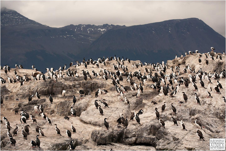 Ushuaia guilimot seabird Argentina